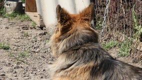 Wachthond op een ketting stock videobeelden