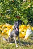 Wachthond in tuin tegen de pompoenen van de de herfstoogst Stock Foto