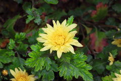 Wackelige Chrysantheme lizenzfreies stockbild