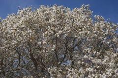 Wada's memory magnolia Stock Photos