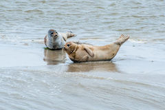 Wadden sea protected seals Royalty Free Stock Images