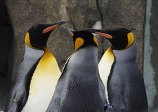 Waddle of Emperor Penguins royalty free stock image