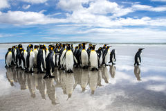 A waddle of king penguins on the beach at volunteer point, falklands Royalty Free Stock Images
