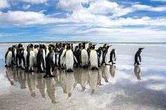 Waddle królewiątko pingwiny na plaży przy ochotniczym punktem, Falklands obrazy royalty free