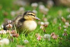 waddling för ducklinggräs Royaltyfri Fotografi