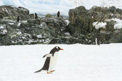 Waddling gentoo penguin at rookery Royalty Free Stock Image