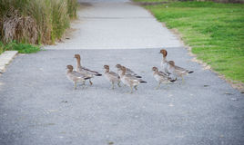 Free Waddling Wood Ducks Royalty Free Stock Images - 91722049