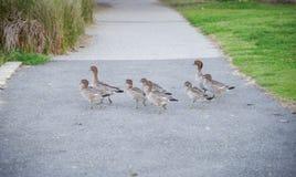 Waddling Wood Ducks Royalty Free Stock Images