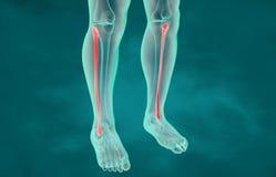 Wadenbein-Knochen-Anatomie | Illustration der Knochen- und Dornanatomie 3d lizenzfreie abbildung