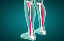 Wadenbein-Knochen-Anatomie | Illustration der Knochen- und Dornanatomie 3d stock abbildung