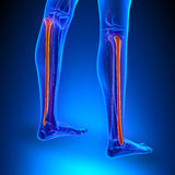 Wadenbein-Knochen-Anatomie mit Kreislaufsystem stock abbildung