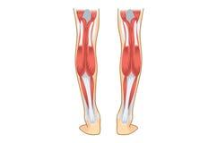 Wadenmuskel des Menschen Stockbild