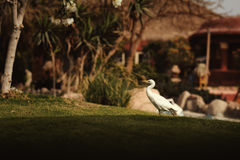 Wader. Bird at grass of hotel in Egypt Royalty Free Stock Image