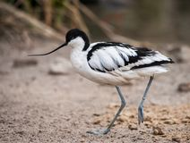 Wader: black and white Pied avocet. On the beach Stock Images