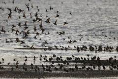 Wader,. Mixed flock, Kent, March 2014 Stock Image