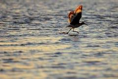 A Wader, Tringa bird, in Baja California, Mexico. North America Stock Photos
