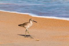 Wader walking on ocean shore. The wader walking on the sand shore of the ocean in sunny day Royalty Free Stock Images