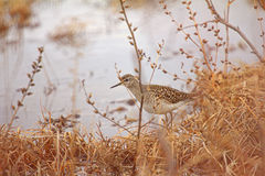 Wader Wood Sandpiper on lake shore and catkin at spring willows Stock Images