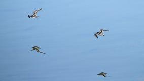 Waders летая на Plaiaundi Стоковое Изображение RF