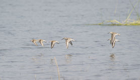 Waders  Dunlin and Little Stint Flight. Wetland Birds/Waders Little Stint and Dunlin flying over the lake Stock Image
