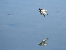 Waders flying at Plaiaundi. RAMSAR marine protected area Stock Image