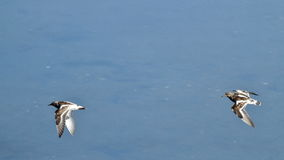 Waders flying at Plaiaundi. RAMSAR marine protected area Royalty Free Stock Photo