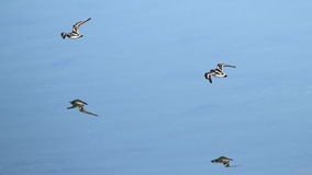 Waders flying at Plaiaundi Royalty Free Stock Image