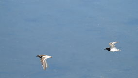 Waders flying at Plaiaundi. RAMSAR marine protected area Royalty Free Stock Image
