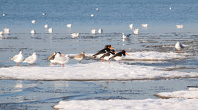 Waders and Gulls on Sea Ice. In Poole Harbour, Dorset, England Stock Image
