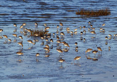 Waders in Morecambe Bay Stock Images