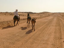 WADI - HALFA, SUDAN - 20 November, 2008:  An unknown man riding Stock Images