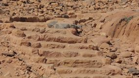 Wadi Rum Chukar-Vogel, der auf Wüstentreppe steht stock video footage
