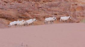 Wadi RUm Oryx pack on sand hill
