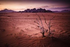Wadi rum at sunset. Desert of Wadi Rum in Jordan. Striking view immediately after sunset, detail of a dry plant in the foreground and mountains in the background royalty free stock photo
