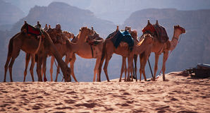 Wadi Rum, camel, camels, dirt road, the Valley of the Moon, Jordan, Middle East, desert, landscape, nature, climate change. Jordan, 03/10/2013: landscape and a Stock Photos