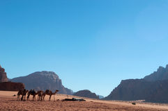 Wadi Rum, camel, camels, dirt road, the Valley of the Moon, Jordan, Middle East, desert, landscape, nature, climate change. Jordan, 03/10/2013: landscape and a Royalty Free Stock Photo