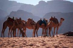 Wadi Rum, camel, camels, dirt road, the Valley of the Moon, Jordan, Middle East, desert, landscape, nature, climate change. Jordan, 03/10/2013: landscape and a Stock Image