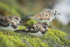Wading πουλί turnstone Rubby Στοκ εικόνα με δικαίωμα ελεύθερης χρήσης