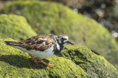 Wading πουλί turnstone Rubby Στοκ Εικόνα