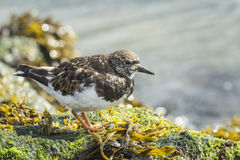 Wading πουλί turnstone Rubby Στοκ Εικόνες