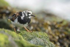 Wading πουλί turnstone Rubby Στοκ φωτογραφίες με δικαίωμα ελεύθερης χρήσης