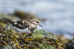 Wading πουλί turnstone Rubby Στοκ φωτογραφία με δικαίωμα ελεύθερης χρήσης