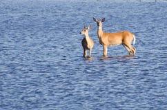 wading ύδωρ έξω δύο ελαφιών Στοκ εικόνα με δικαίωμα ελεύθερης χρήσης