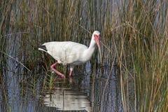 Wading белый Ibis Стоковая Фотография