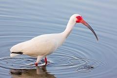 Wading American White Ibis Royalty Free Stock Photo