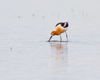 Wading Avocet Royalty Free Stock Images