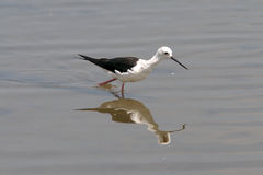 Wading bird Royalty Free Stock Photography