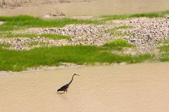 Wading bird on the Colorado River. A wading blue heron keeps a close eye out for his breakfast fish as he wades through the muddy waters of the Colorado River Royalty Free Stock Photo