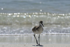 Wading bird, florida Royalty Free Stock Image