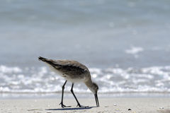 Wading bird, florida Stock Photography